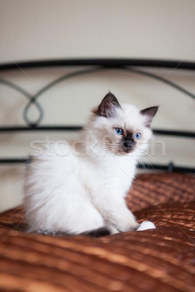 Sacré chat séance lit blanche rouge Photo stock © Juhku
