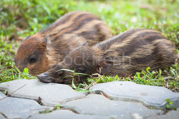 Stock photo: Baby wild boars sleeping on grass