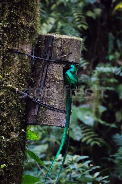 Quetzal bird wild Monteverde Costa Rica Stock photo © Juhku