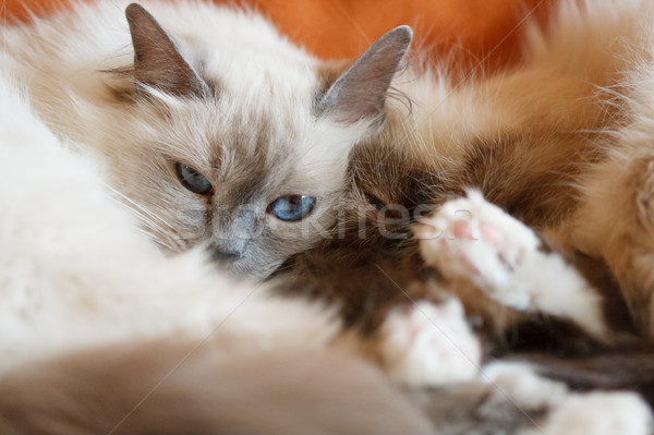 Two cute cats sleeping laying on bed close to each other Stock photo © Juhku
