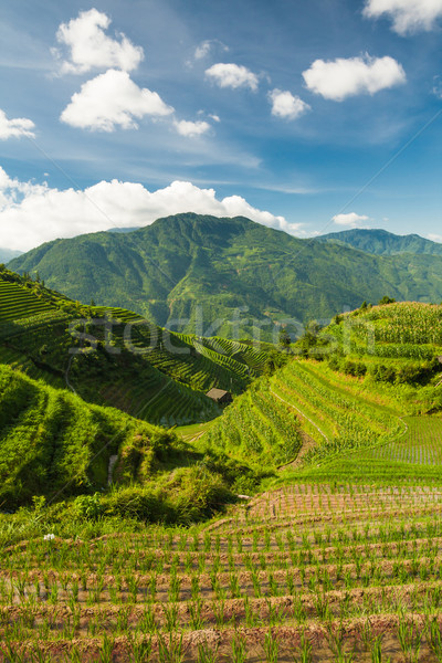 Vertical landscape photo of rice terraces in china Stock photo © Juhku