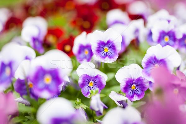 美しい バイオレット 花 グループ クローズアップ 庭園 ストックフォト © Juhku