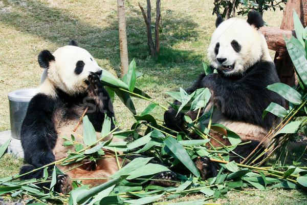 Kettő eszik bambusz óriás természet medve Stock fotó © Juhku
