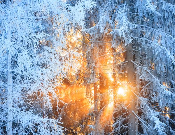 Słońce promienie mroźny drzew zimą lasu Zdjęcia stock © Juhku