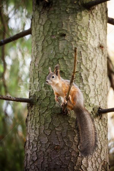 красный белку дерево Cute лес Сток-фото © Juhku