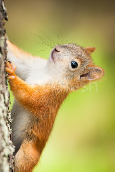 Cute little red squirrel Stock photo © Juhku