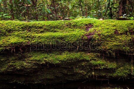 Moss growing in big fallen tree Stock photo © Juhku