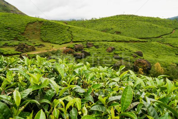 Chá Índia nublado dia natureza folha Foto stock © Juhku