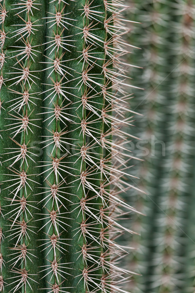 Cactus spikes closeup Stock photo © Juhku