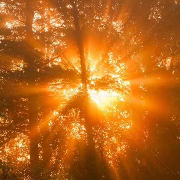 Raggi di sole albero mattina nebbia dettagli fogliame Foto d'archivio © Juhku
