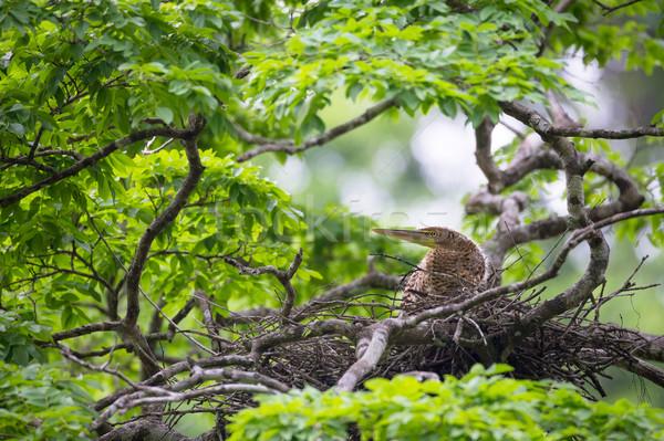 Jonge tijger reiger nest Costa Rica natuur Stockfoto © Juhku
