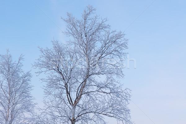 Frozen tree branches Stock photo © Juhku