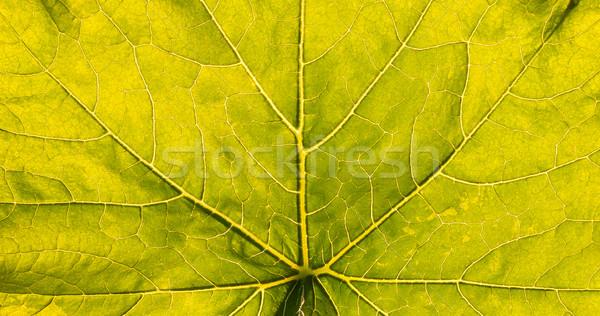 Verlicht groot blad aderen textuur Stockfoto © Juhku