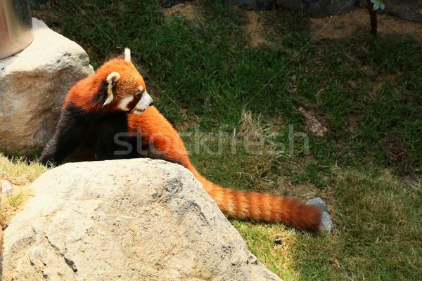 赤 パンダ 徒歩 動物園 自然 岩 ストックフォト © Juhku