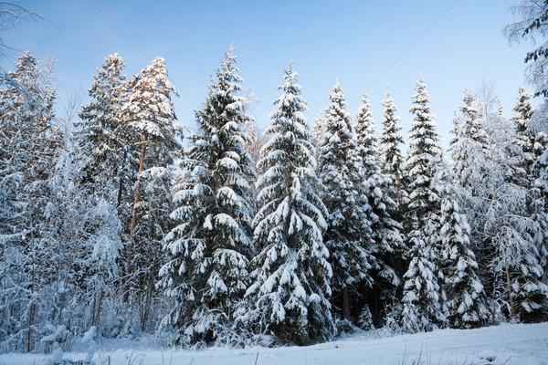 冬 森林 フィンランド 夕暮れ 雪 カバー ストックフォト © Juhku