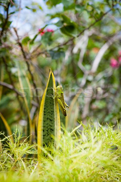 グラスホッパー 葉 庭園 草 自然 脚 ストックフォト © Juhku