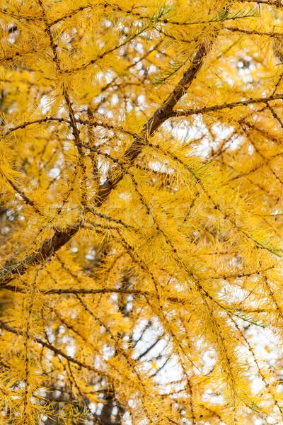 Autumn yellow larch tree Stock photo © Juhku