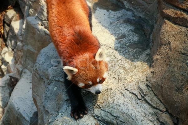 Rojo panda zoológico curioso piedra chino Foto stock © Juhku