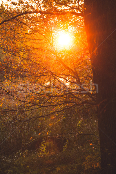 Warm sunlight in bush and branches Stock photo © Juhku