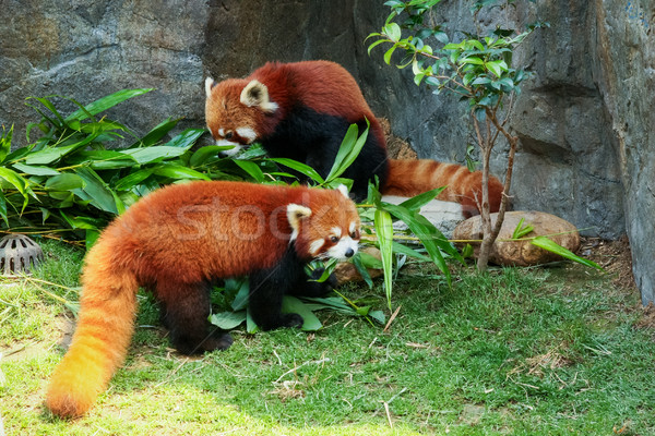 Stock photo: Two cute red pandas eating bamboo