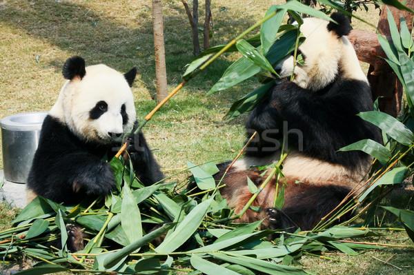 Due mangiare bambù gigante natura foglie Foto d'archivio © Juhku