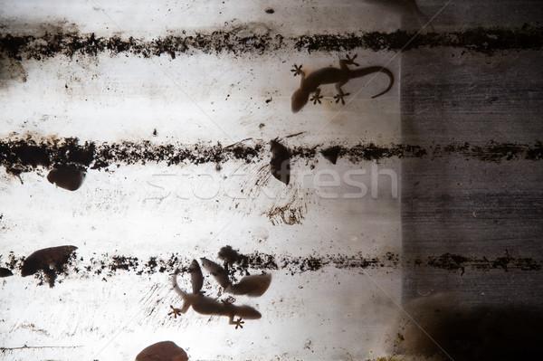 Gecko on plastic roof Stock photo © Juhku