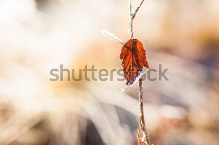 Kırmızı yaprak don çayır soyut Stok fotoğraf © Juhku