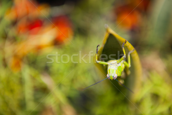 Grasshopper on a leaf Stock photo © Juhku