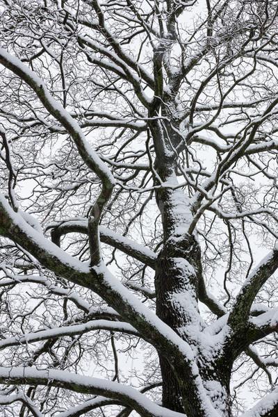ビッグ ツリー 曇った 空 黒白 冬 ストックフォト © Juhku