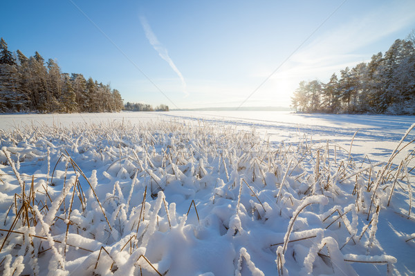 Frozen lake and snow covered reeds Stock photo © Juhku