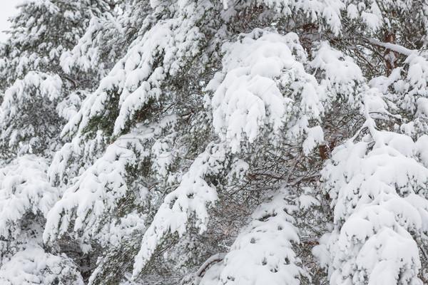 Foto d'archivio: Neve · coperto · pino · rami · foresta · inverno