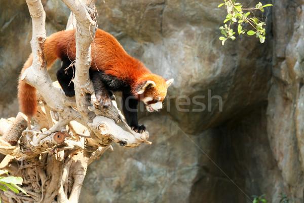 Kırmızı panda tırmanma ağaç hayvanat bahçesi ayı Stok fotoğraf © Juhku