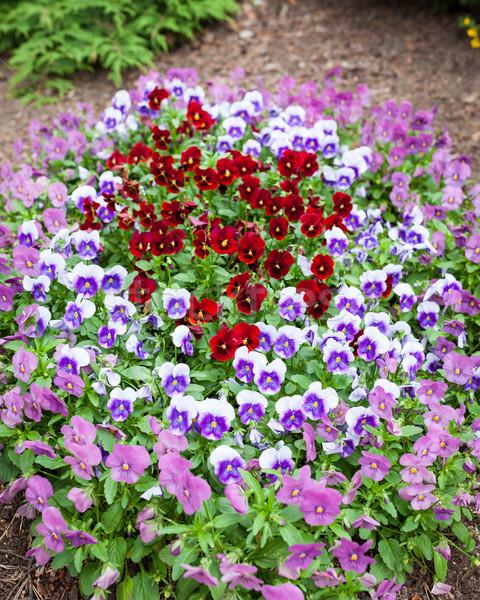 Gyönyörű ibolya virágok csoport virágágy virág Stock fotó © Juhku