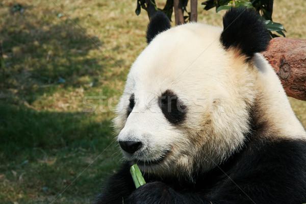 Panda jedzenie bambusa gigant pozostawia czarny Zdjęcia stock © Juhku