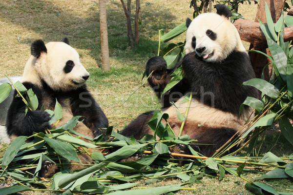 Kettő óriás panda eszik élvezi bambusz Stock fotó © Juhku