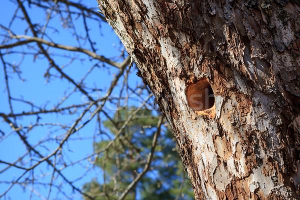 Woodpecker nest in apple tree Stock photo © Juhku