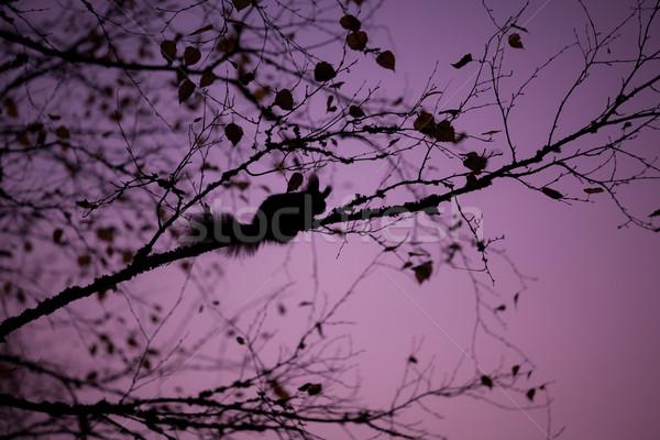 Eurasian red squirrel sleeping in a tree Stock photo © Juhku
