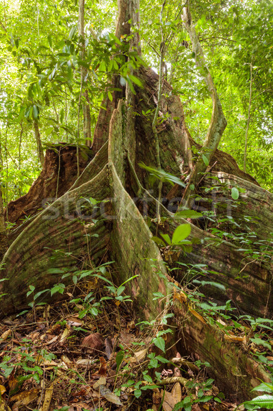 Buttress tree roots in rainforest Stock photo © Juhku