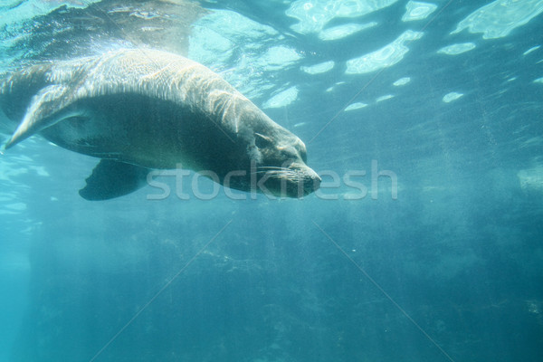 Sea lion diving underwater in zoo Stock photo © Juhku