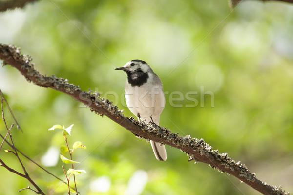 White wagtail bird sits on tree branch Stock photo © Juhku
