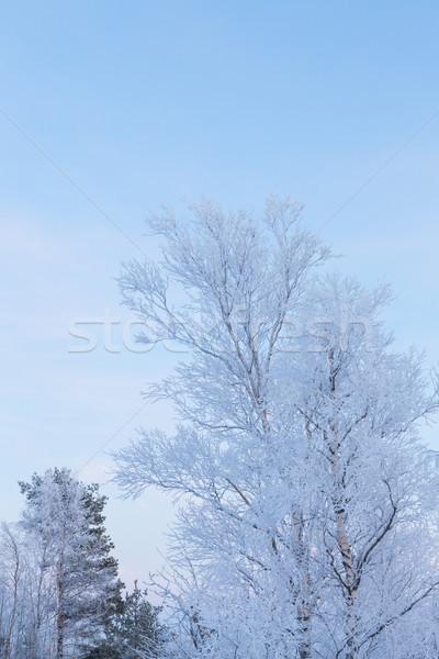 Congelada árvore bétula madeira floresta Foto stock © Juhku
