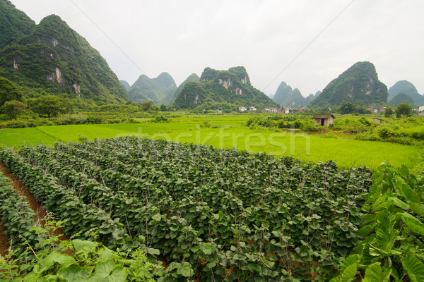 Agriculture and beaturiful karst mountains Stock photo © Juhku