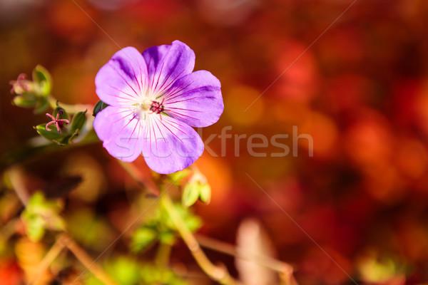 紫色の花 活気のある 赤 ぼけ味 庭園 美 ストックフォト © Juhku
