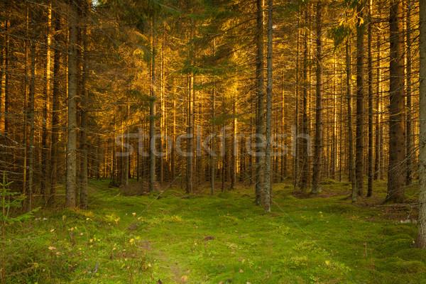 Enfeitar floresta caminho dourado pôr do sol luz Foto stock © Juhku