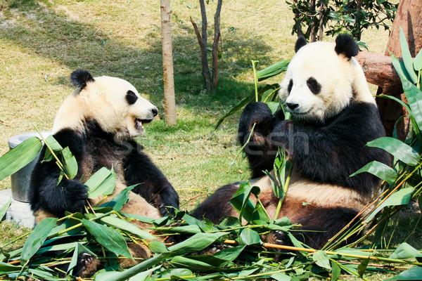 Dwa jedzenie bambusa gigant rodziny drzewo Zdjęcia stock © Juhku