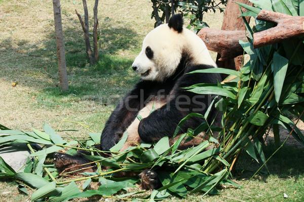 パンダ 食べ 竹 巨人 葉 熱帯 ストックフォト © Juhku