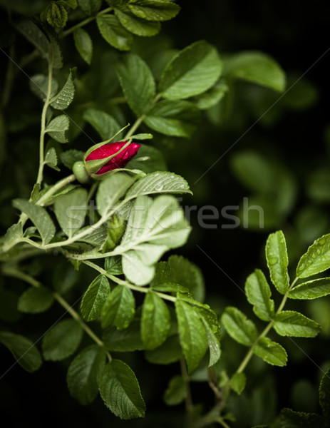 Dynamique rose bourgeon Bush Rose Red nature Photo stock © Juhku