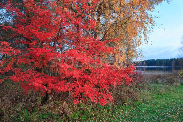 Vivid red leaves Stock photo © Juhku