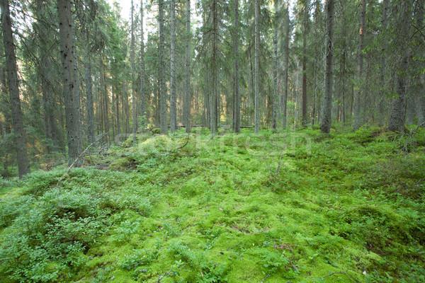 Mech starych lasu słońce charakter świetle Zdjęcia stock © Juhku