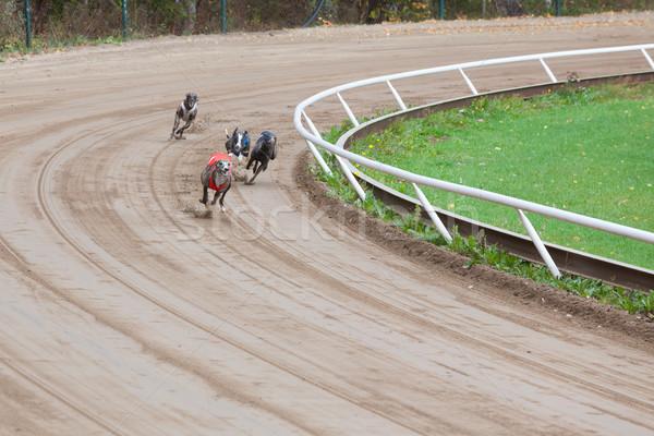 Galgo cães corrida areia seguir diversão Foto stock © Juhku